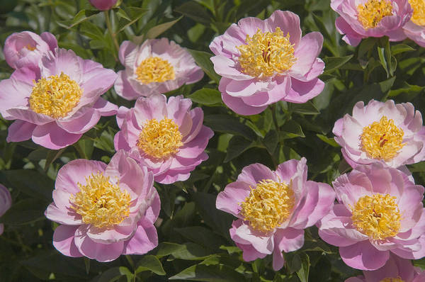 Photograph - Paeonia Lactiflora Gleam Of Light 3 by Jenny Rainbow