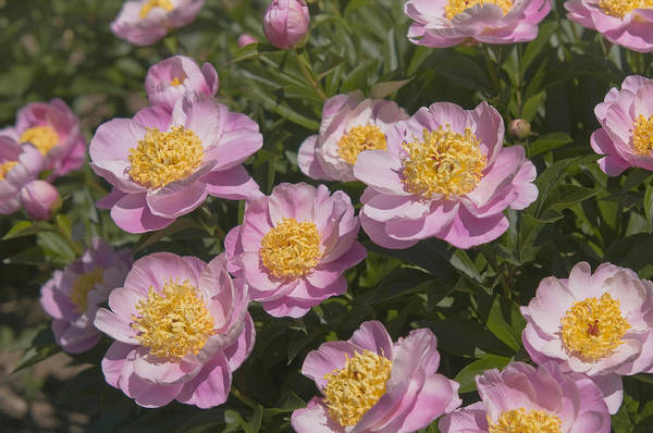 Photograph - Paeonia Lactiflora Gleam Of Light by Jenny Rainbow