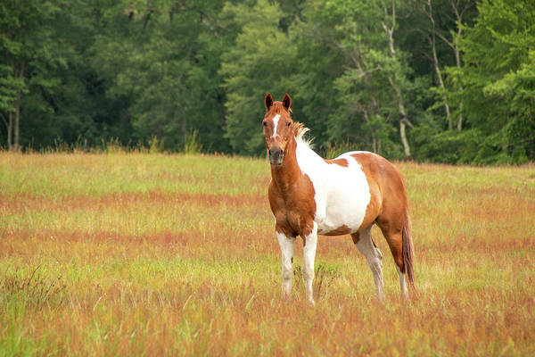Photograph - Paint Horse In Meadow by Kristia Adams