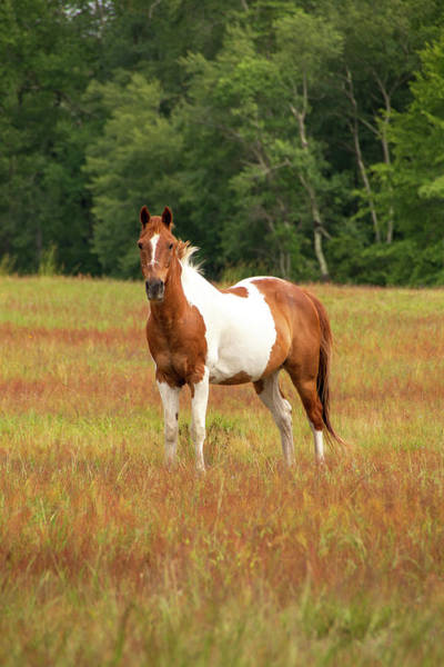 Photograph - Paint Horse In Pasture by Kristia Adams