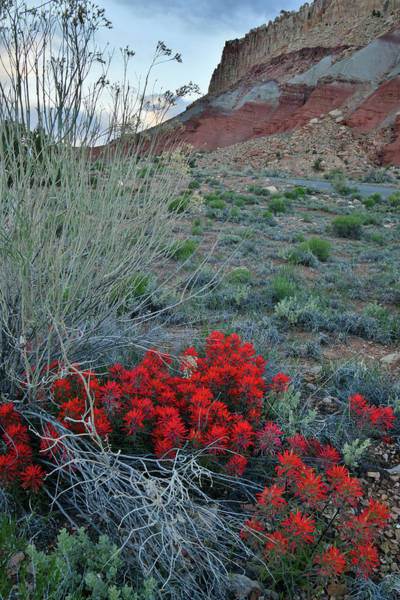Photograph - Paintbrush Along Scenic Drive In Capitol Reef Np by Ray Mathis