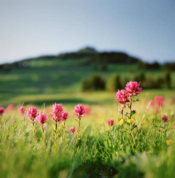Paintbrush Wildflowers At Mt. Rainier Art Print