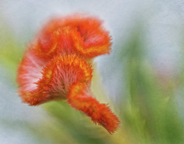 Wall Art - Photograph - Painted Celosia by David and Carol Kelly