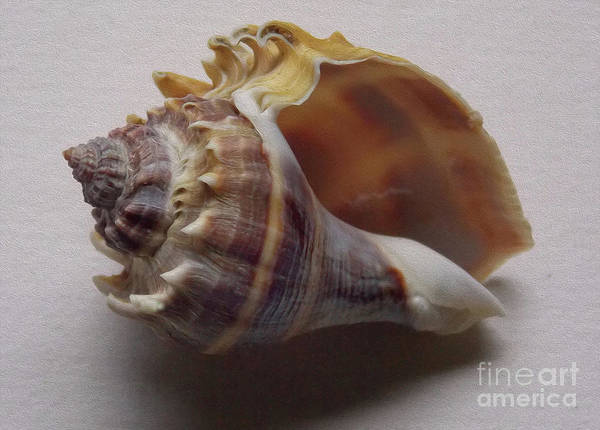 Wall Art - Photograph - Painted Conch Shell No 20 by Skip Willits