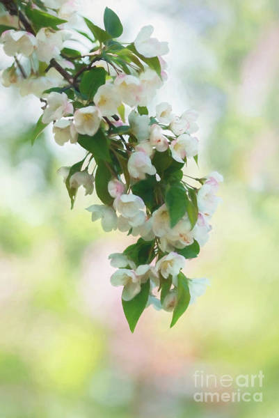 Photograph - Painted Crabapple Blossom Cascade by Anita Pollak