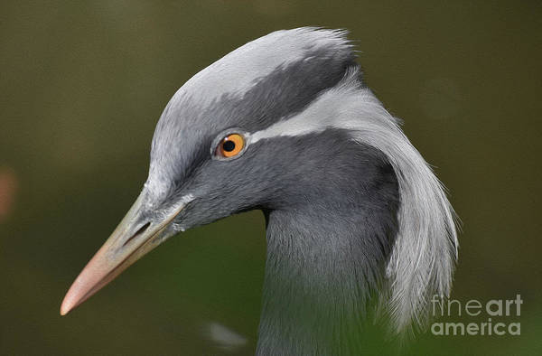 Critters Photograph - Painted Heron Portraitti by Skip Willits