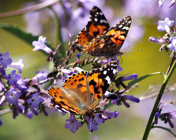 Wall Art - Photograph - Painted Ladies by Allan Erickson