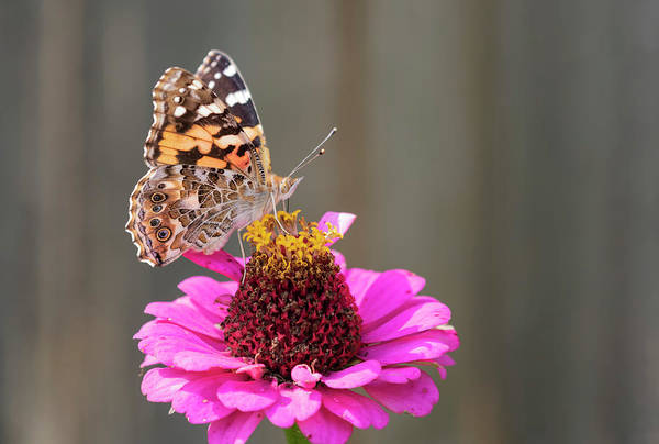 Wall Art - Photograph - Painted Lady 2018-1 by Thomas Young