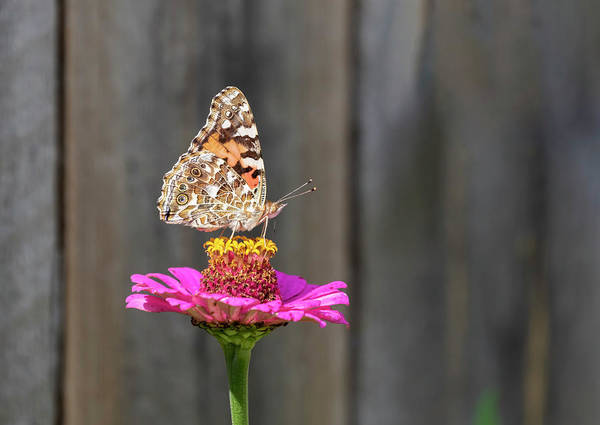 Wall Art - Photograph - Painted Lady 2018-2 by Thomas Young