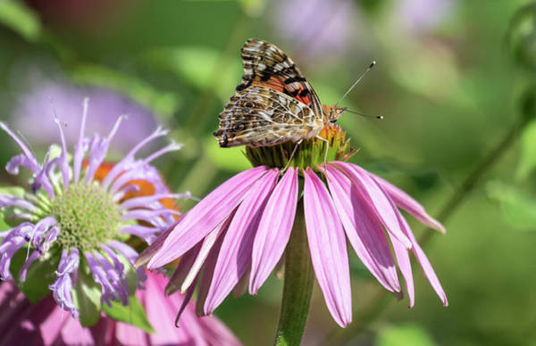 Photograph - Painted Lady 2019-1 by Thomas Young