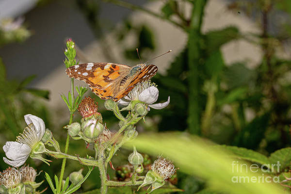 Photograph - Painted Lady by Brian Roscorla