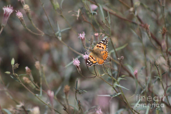 Photograph - Painted Lady Butterflies On Peacock Pink Wildflower At Salton Sea by Colleen Cornelius