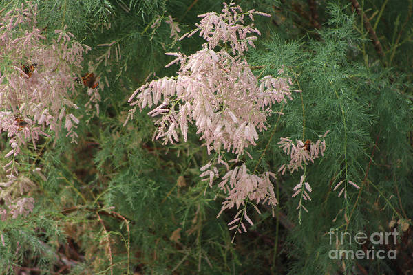 Photograph - Painted Lady Butterflies On Pink Chinese Saltcedar At Salton Sea by Colleen Cornelius