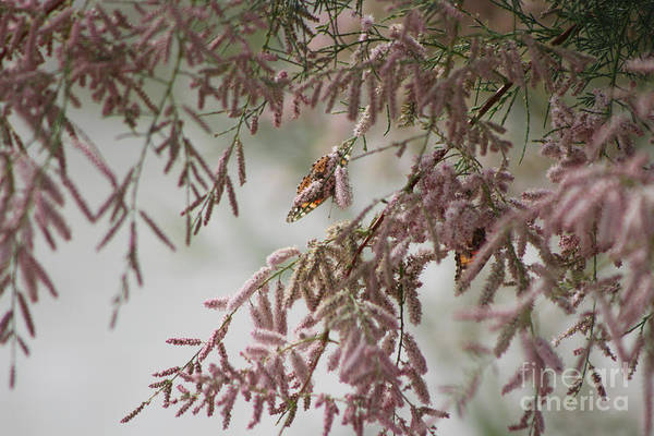 Photograph - Painted Lady Butterflies On Pink Chinese Saltcedar by Colleen Cornelius