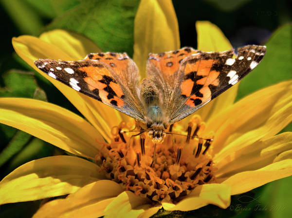 Wall Art - Photograph - Painted Lady Butterfly And Mules Ears Wildflower by Brian Tada