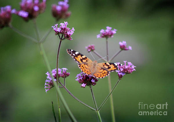 Photograph - Painted Lady Butterfly Balance 2018 by Karen Adams
