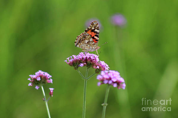 Photograph - Painted Lady Butterfly Beauty by Karen Adams