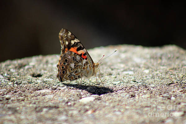 Photograph - Painted Lady Butterfly Dark And Light by Karen Adams