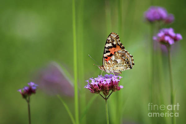 Photograph - Painted Lady Butterfly Dreams by Karen Adams