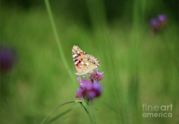 Photograph - Painted Lady Butterfly Illuminated by Karen Adams