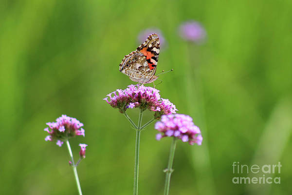 Photograph - Painted Lady Butterfly In Green Field by Karen Adams