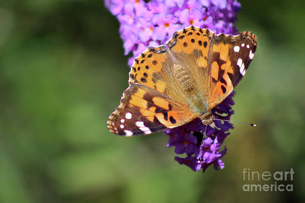 Photograph - Painted Lady Butterfly In October by Karen Adams