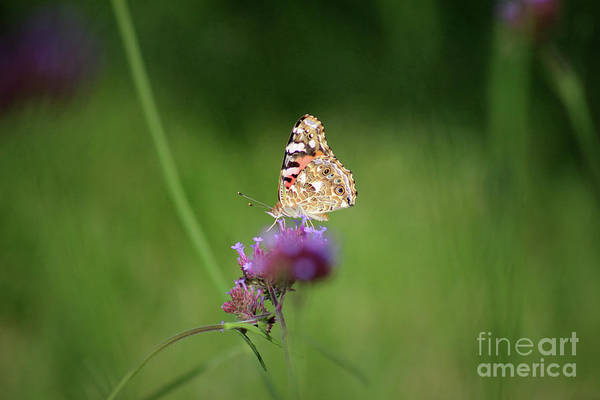 Photograph - Painted Lady Butterfly In Shadows by Karen Adams