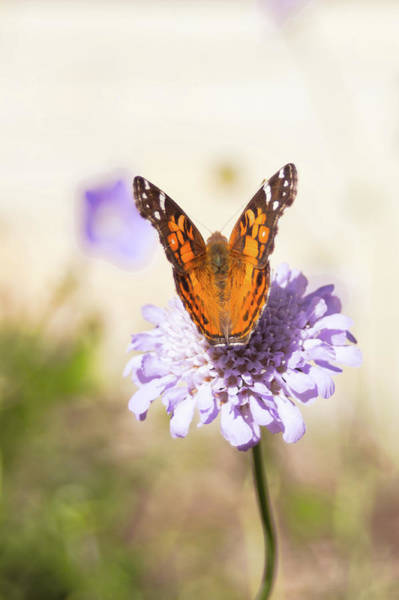 Photograph - Painted Lady Butterfly by Jeanette Fellows