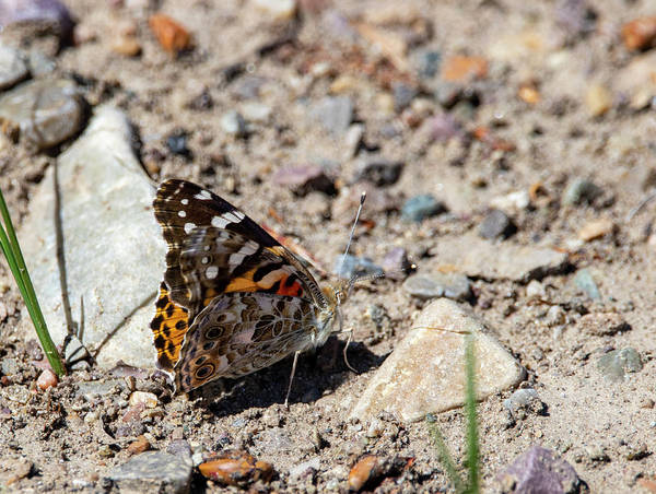 Photograph - Painted Lady Butterfly by Michael Chatt