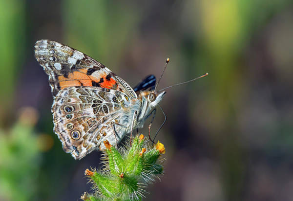 Photograph - Painted Lady Butterfly by Rick Mosher