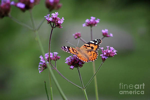 Photograph - Painted Lady Butterfly Solo On Verbena by Karen Adams