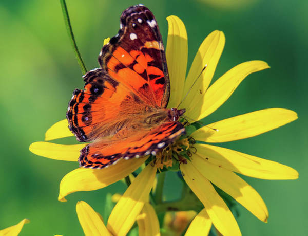 Photograph - Painted Lady by Dan Sproul