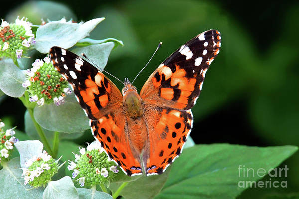 Wall Art - Photograph - Painted Lady Feeding On Mountain Mint by Regina Geoghan