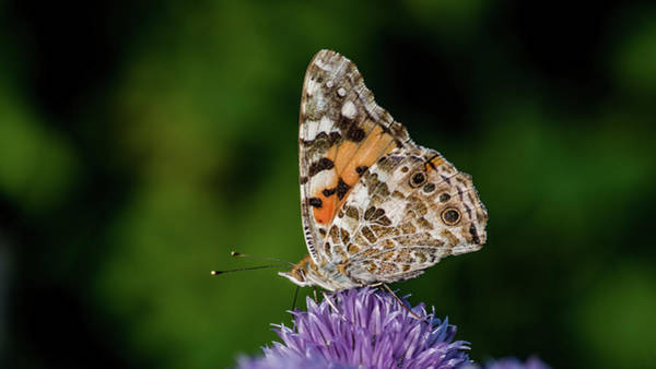 Photograph - Painted Lady IIi  by Torbjorn Swenelius