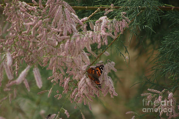 Photograph - Painted Lady On Pink Chinese Saltcedar by Colleen Cornelius