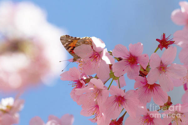 Wall Art - Photograph - Painted Lady Perched In Cherry Tree by Ruth Jolly