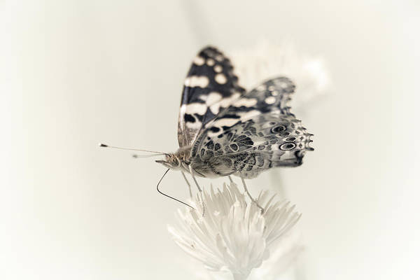 Photograph - Painted Lady Sans Paint by Brian Hale