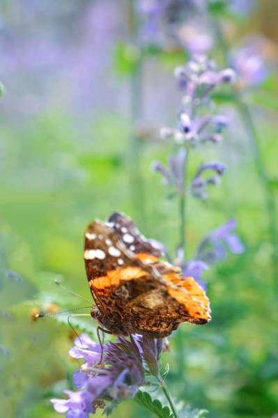 Photograph - Painted Lady by Shannon Kelly