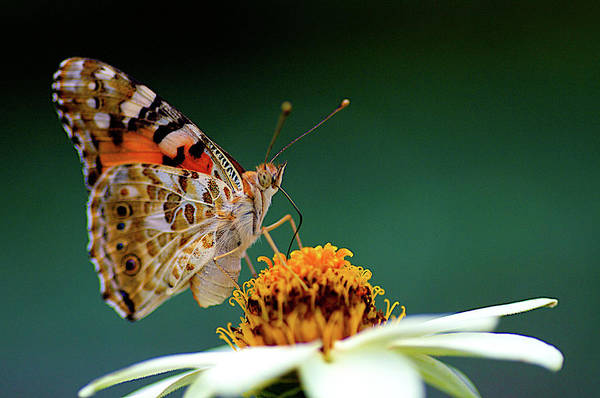 Zinnia Wall Art - Photograph - Painted Lady  Vanessa Cardui by Jim Mayes