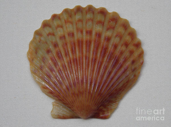 Wall Art - Photograph - Painted Scallop Shell No 21 by Skip Willits