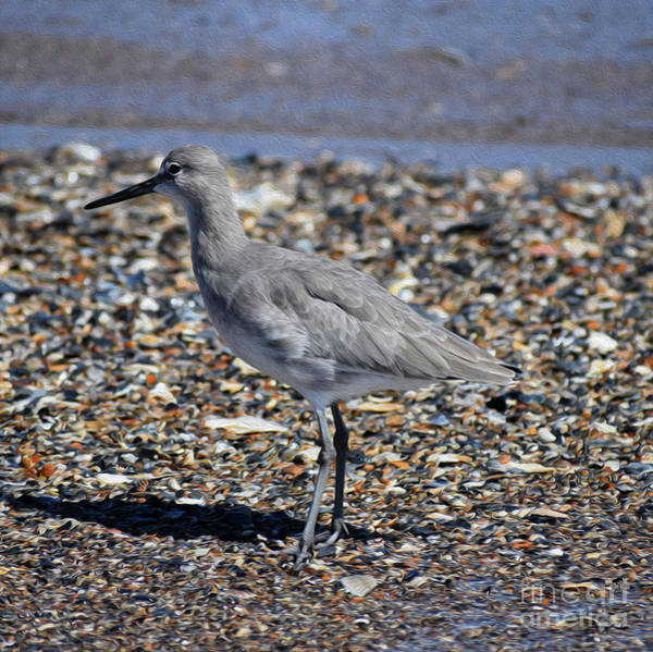 Wall Art - Photograph - Painted Shore Bird by Skip Willits
