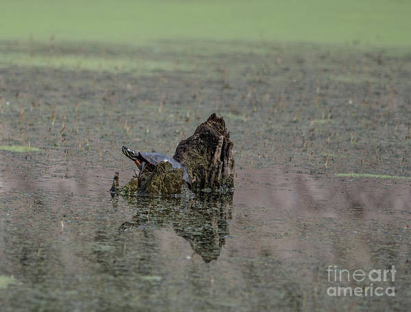 Painted Turtle Photograph - Painted Turtle by David Bearden