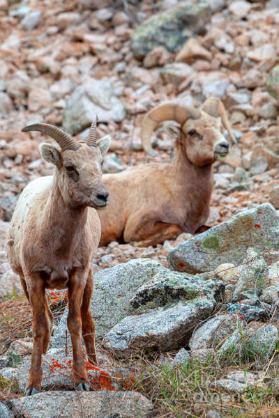 Photograph - Pair Of Bighorn Sheep In The Mountains by Steve Krull