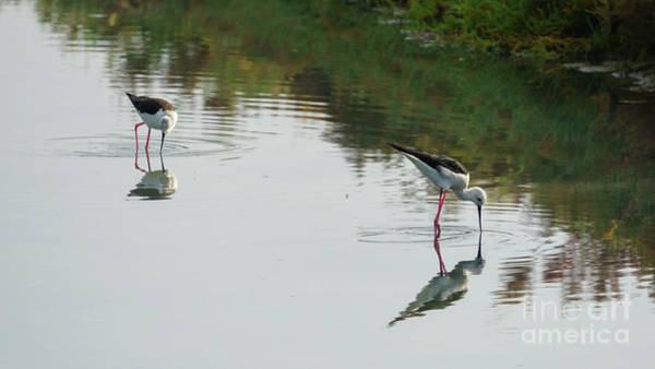 Photograph - Pair Of Black-winged Stilts Feeding On The Marshland by Pablo Avanzini