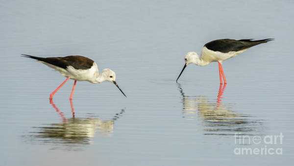 Photograph - Pair Of Black-winged Stilts by Pablo Avanzini