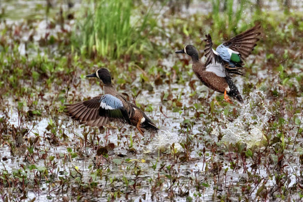 Photograph - Pair Of Blue Winged Teals by Susan Rissi Tregoning