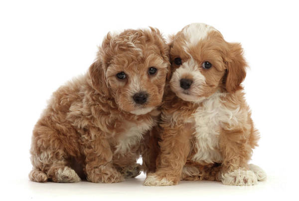 Photograph - Pair Of Cute Cavapoochon Puppies by Warren Photographic