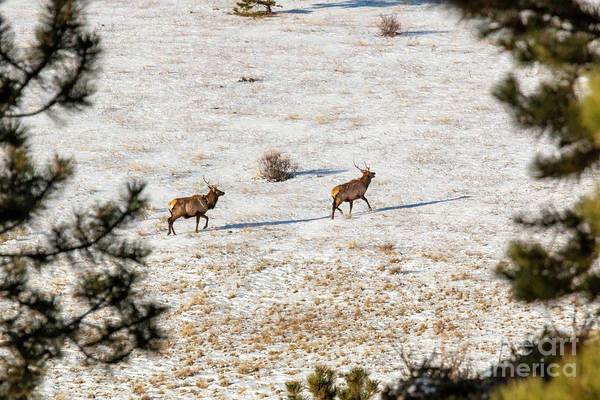 Photograph - Pair Of Elk In The Rocky Mountain Snow by Steve Krull