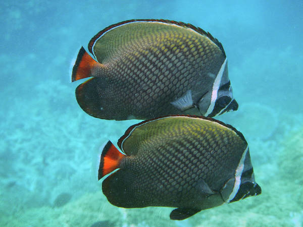The Maldives Photograph - Pair Of Fish by Federica Grassi