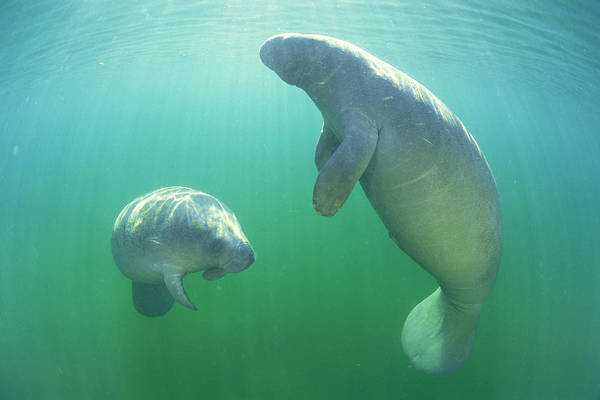 Manatee Photograph - Pair Of Florida Manatees Swimming by Comstock